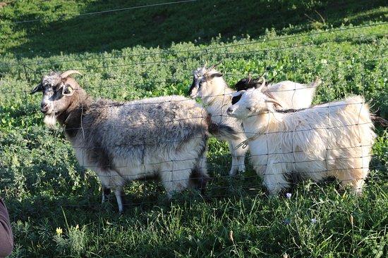 Cashmere Goats--Chianti Cashmere
