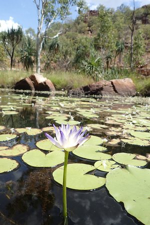 Native water lily that is important bush tucker