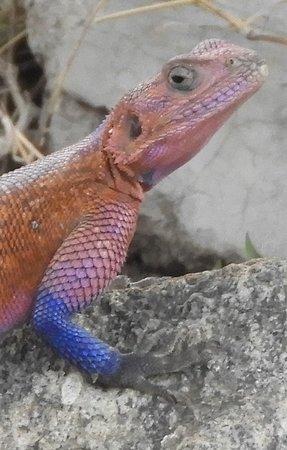 Agami lizard at entrance to Serengeti NP