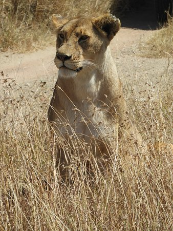 Lioness - Serengeti NP