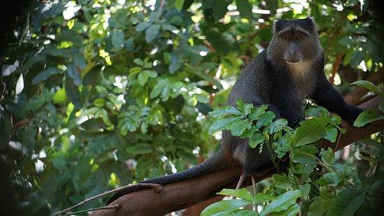 Wildlife Safari, Family Safari, Photographing Safari, Beach Holiday: Blue Monkey at Lake Manyara.