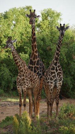 Wildlife Safari, Family Safari, Photographing Safari, Beach Holiday: A trio of giraffes pose for a photo at Lake Manyara.