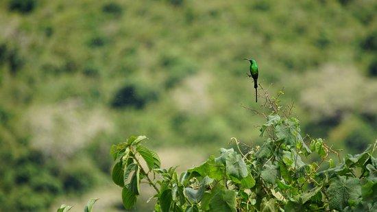 Wildlife Safari, Family Safari, Photographing Safari, Beach Holiday: Sunbird seen from the Ngorongoro Crater lookout.