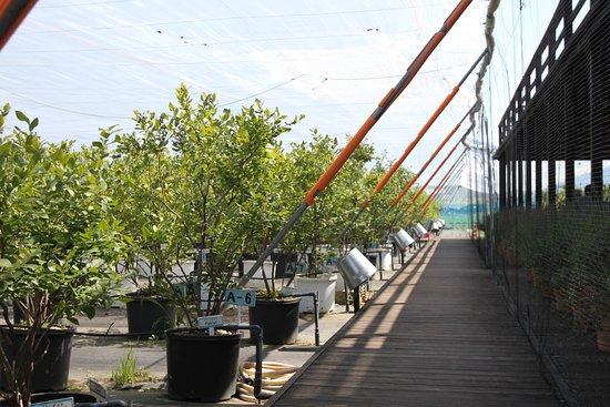 観光農園の様子、天井には鳥よけのためにネットが張られている。
