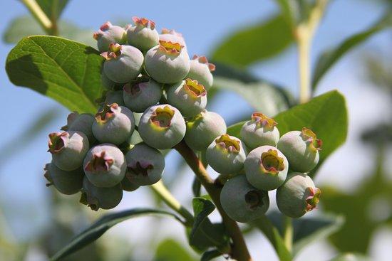 春先のブルーベリーの花
