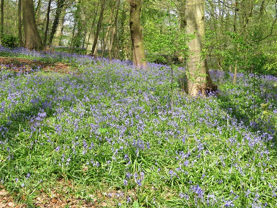 Renishaw Hall And Gardens: Bluebells in the wood