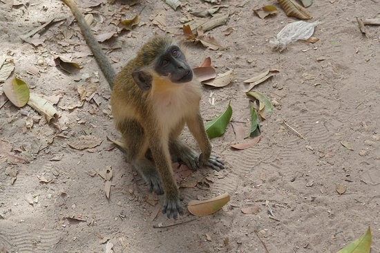 Monkey forrest guided by the best, traditional tour Gambia