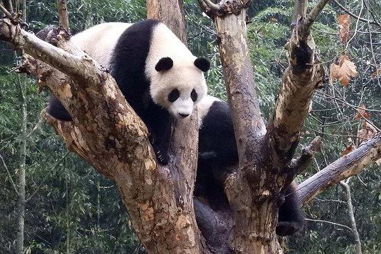 卧龙熊猫基地志愿者计划与熊猫选项拍照