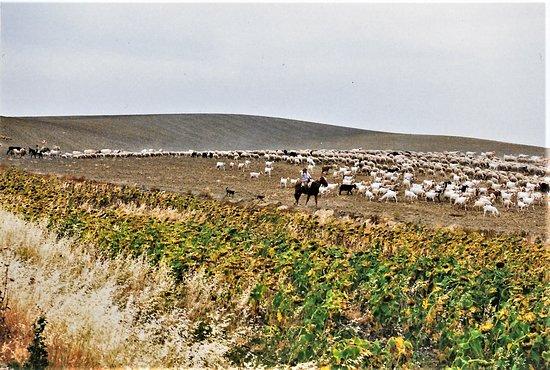 Province de Séville, Espagne : Auf der Fahrt nach Sevilla fahren wir an einer Herde Ziegen, bewacht von einem Gaucho vorbei!
