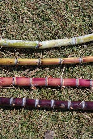 Variétés de cannes à sucre  polynésiennes
