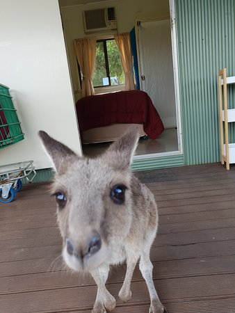 Baralaba, Австралия: Double / Single room with shared bathroom - photo bombed by Yuki the Eastern Grey Kangaroo.