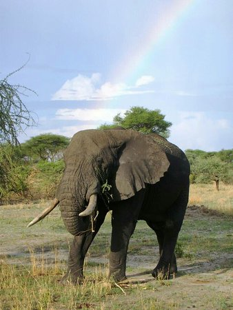 Manyara Region, Τανζανία: All elephants have several distinctive features, the most notable of which is a long trunk (also called a proboscis),used for many purposes!