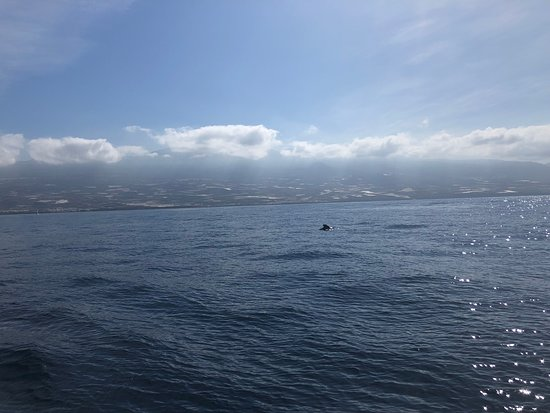 Los Gigantes Whale Watching Charter by Sail Boat: A whale