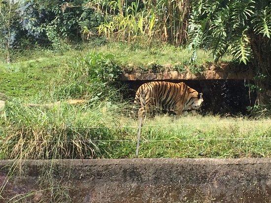 Sao Paulo Zoo Admission Ticket: Tem 2 tipos de tigre, este e o branco, porém o branco estava dormindo. Só foi levantar e perambular mais tarde.