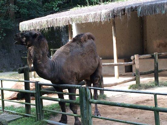 Sao Paulo Zoo Admission Ticket: O simpático dromedário.