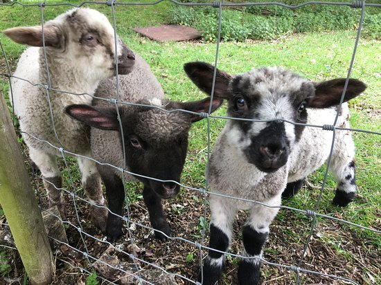 Cookley, UK: Our new pet lambs - Maurice, Barry and Robin - settling in well at Bucks Farm
