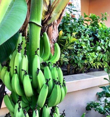 Paradise Village Beach Resort & Spa: Fresh bananas :)