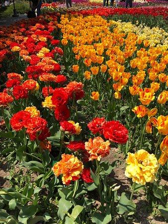 Парад тюльпанов!