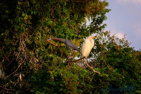 Moore To See Photo Expeditions: Little Blue and Great Herons