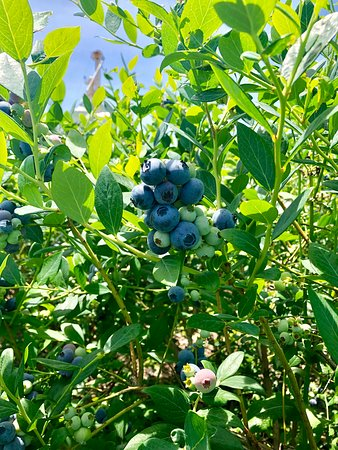 Enigma, GA: upick blueberries