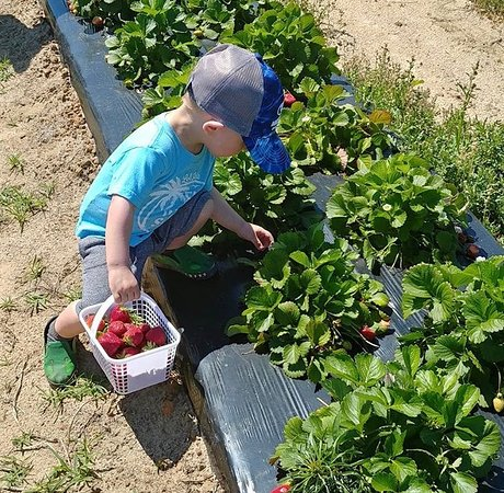 Enigma, Géorgie : kids picking strawberries