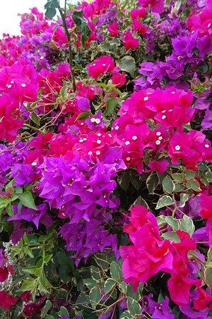 Prachtige flora op het resort, waaronder natuurlijk Bougainvillea