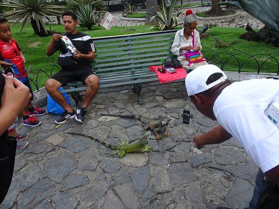 Las iguanas posan para la foto