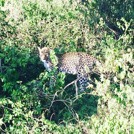 It's leopard on sight on morning game drive safari #uganda #safarimoments #savannahexplore let's take you there