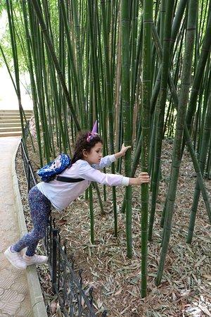 Бамбук в Ботсаду