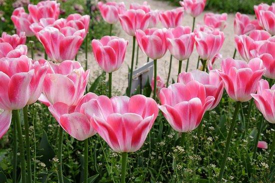 Парад тюльпанов в Ботаническом саду