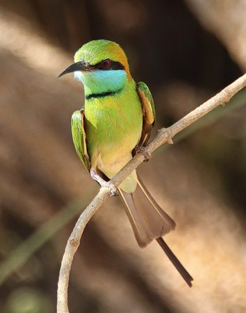 Green bee eater. There are many of these birds in the hotel grounds