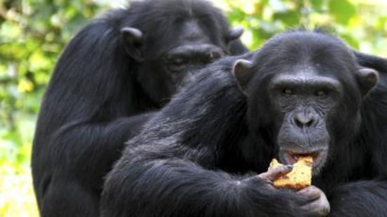 Two chimpanzees at Gombe National Park in Tanzania grooming each other backs, this helps in the development of their social interaction between different troops