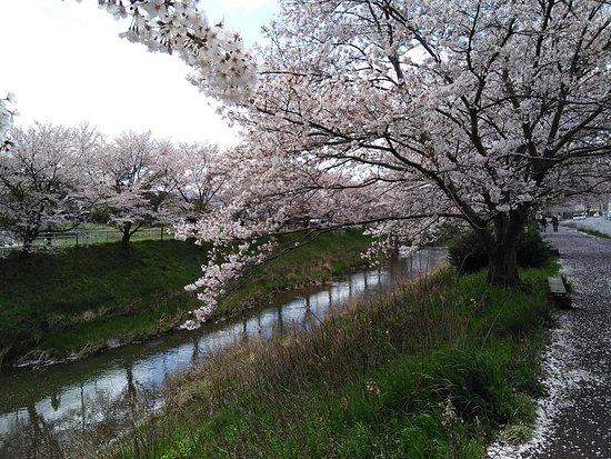 Udagawa Sakura Namiki