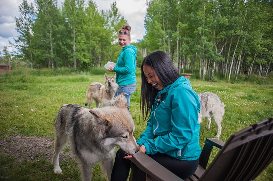 Have you ever met a wolfdog? Here's your chance. The Yamnuska Wolfdog Sanctuary, located near Cochrance, is one of the biggest facilities of its kind in Canada.