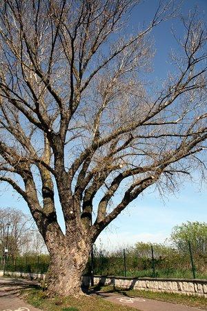 jedno z drzew na deptaku