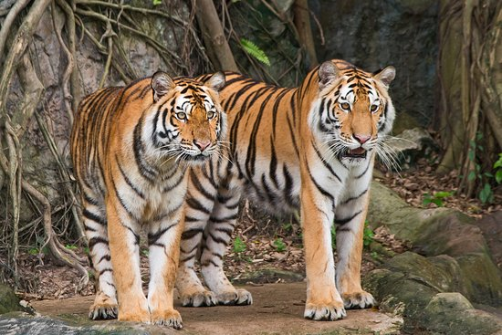 Tigers at Bandhavgarh National Park