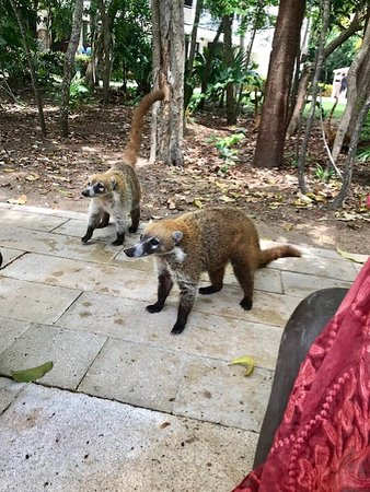 Ocean Riviera Paradise: Wildlife was not lacking here. These Coati's were very eager to say hello!