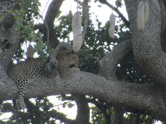 """3Days Serengeti Safari: vous voyez qu'il est à """"califourchon""""sur sa branche !."""