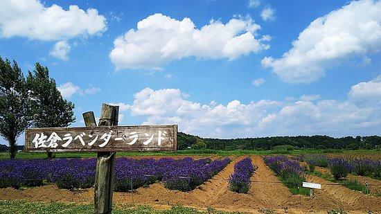 Sakura Lavender Land