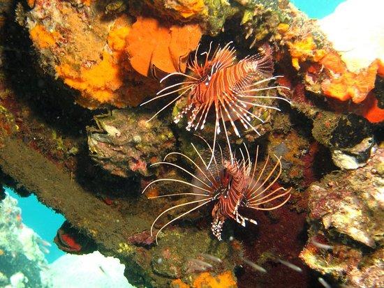 Munda, Quần đảo Solomon: Lion fish add colour and beauty