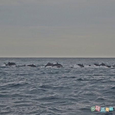 目前在花蓮所看到鯨豚的種類,大約有二十多種, 有的人喜歡看大型鯨,有的人喜歡看小的! 你問我哪個好看?答案當然是見仁見智! 不過,一次近千隻的弗氏海豚在船旁邊豚遊的方式, 也是一趟難忘的經驗啦! #大型鯨不就像一根漂流木在旁邊動也不動嗎? 花蓮賞鯨-多羅滿賞鯨  訂位請加維信:turumoan 886-03-8333821 #花蓮賞鯨 #賞鯨推薦#  #親子旅遊#  #自由行#  #臺灣自由行攻略# #hualien  #whalewatching