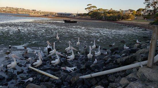 San Remo Pelican Feeding