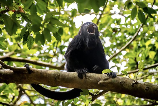 The Mayan Experience: Chichen Itza, Ek Balam and Valladolid (PRIVATE TOUR): Howler Monkey