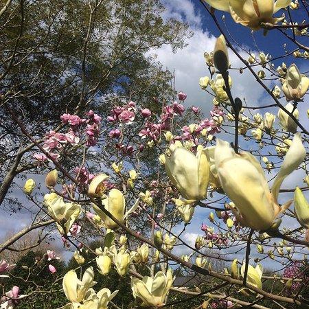 Hikutaia, Nowa Zelandia: Spring flowering Magnolias