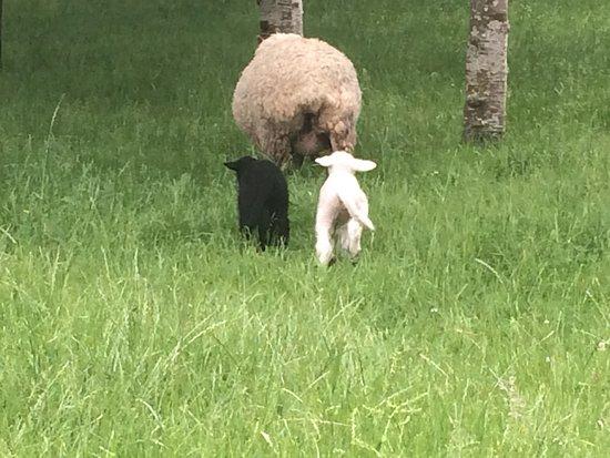 Hikutaia, Nowa Zelandia: Mum and her twin lambs.