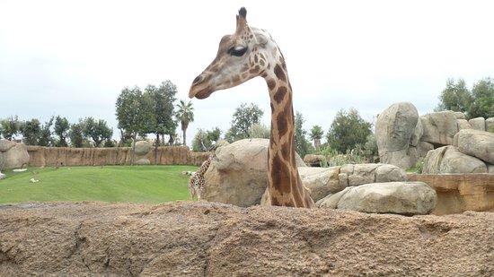Barcelona, Španielsko: Barcellona, anno 2007, Giraffa allo zoo.