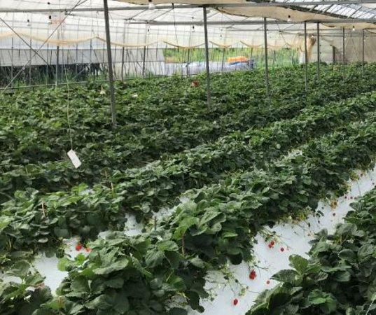 Tekenouchi Tourist Farm: 草莓都剩下不多,而草莓的體積大多不會很大