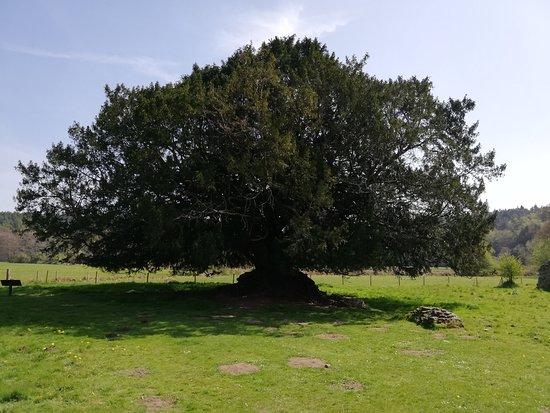 Waverley Abbey , un albero che ha visto la storia di questa abazia