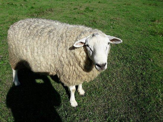 Temos ovelhas para carne e reprodução