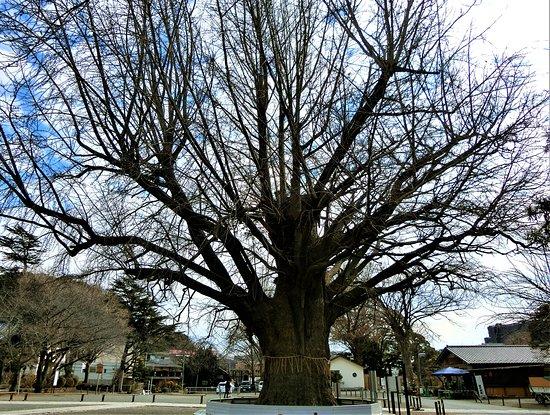 Yugyo-ji Temple Large Gingko Tree